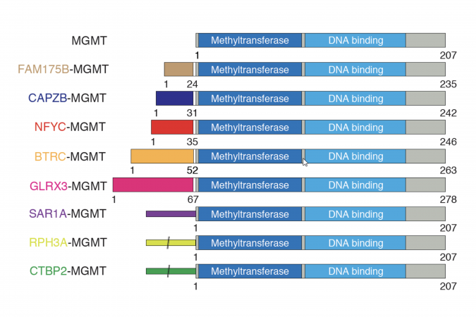 Structure of the MGMT fusion proteins, for which the two key functional domains (the deep blue and light blue parts of the bars) are preserved, while each gene partnered with MGMT would promote its expression.
