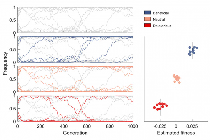 Mutant frequency trajectories exhibit complex dynamics due to linkage affects. Top left panel shows frequency trajectories of all mutant alleles, the lower three panels on the left show the trajectories of beneficial/neutral/deleterious mutants in blue/orange/red. The right panel shows their estimated fitness values using the proposed inference method. Vertical lines indicate the true fitness values.